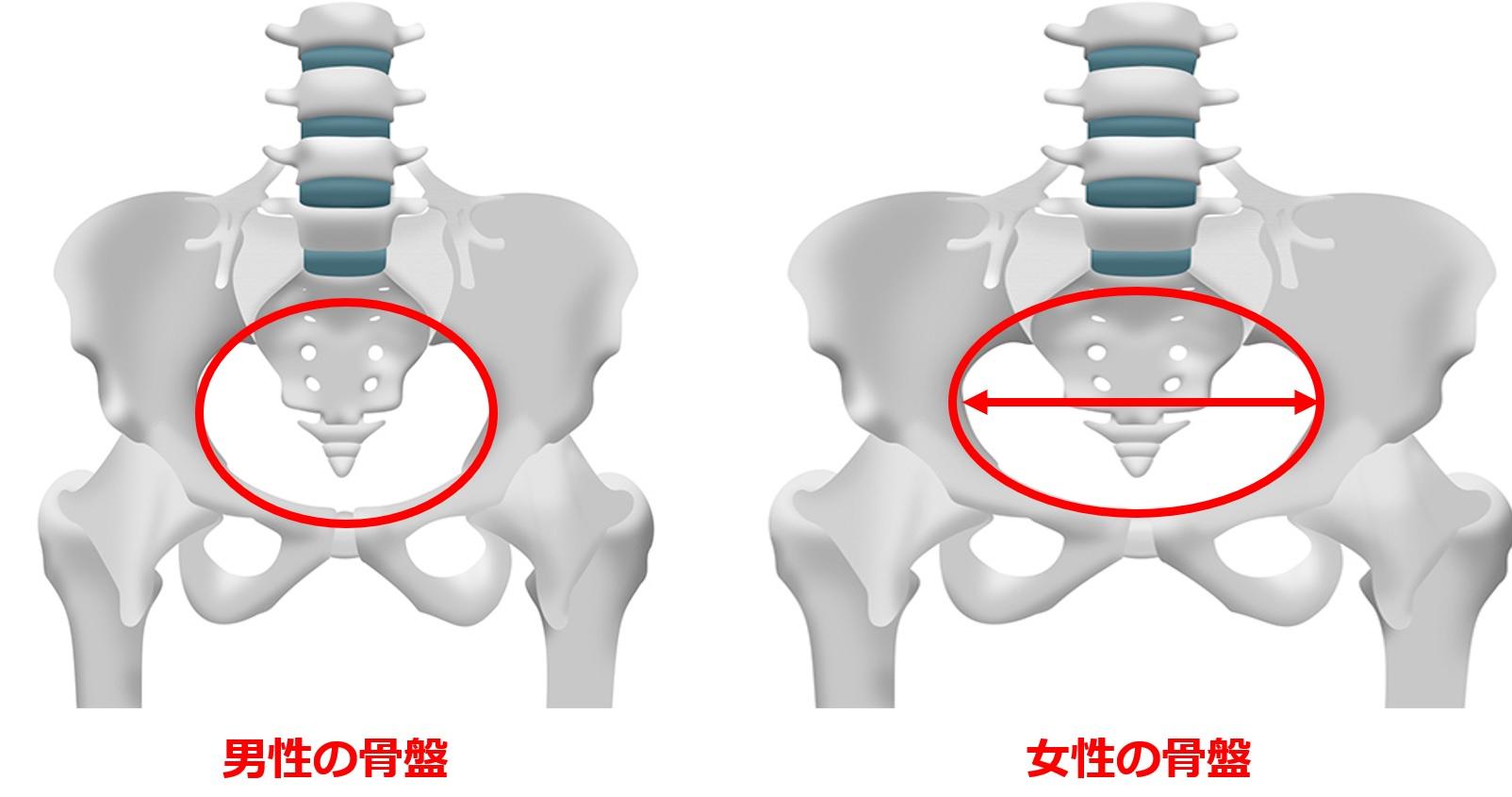 男性女性の骨盤